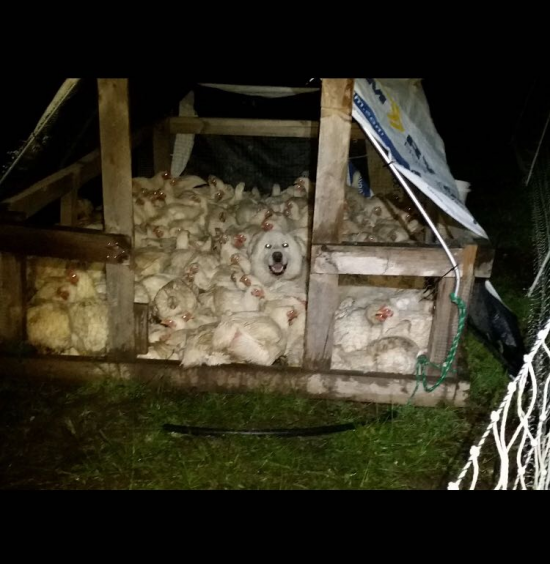 A local farm where I live had trouble with their flock all wanting to sleep in the same house, each night they have to go break them up. The other night they found their dog had joined in